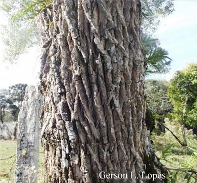 Sambucus australis tronco