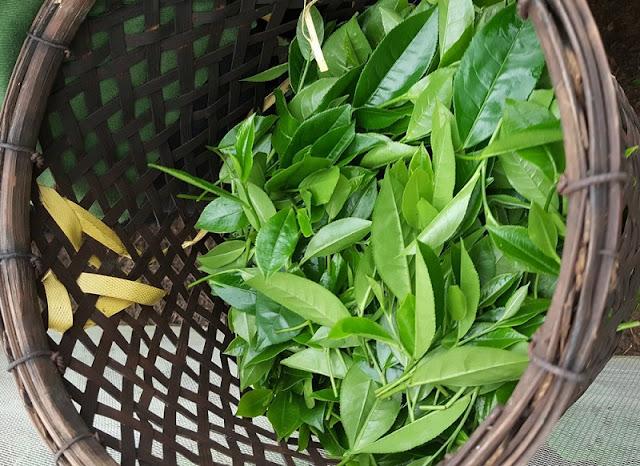 Tea harvest season in Yen Bai 4