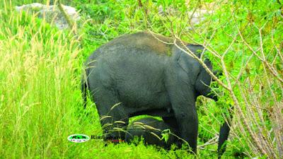 Bayi Gajah Sumatera Lahir di Balairaja Kabupaten Bengkalis Riau