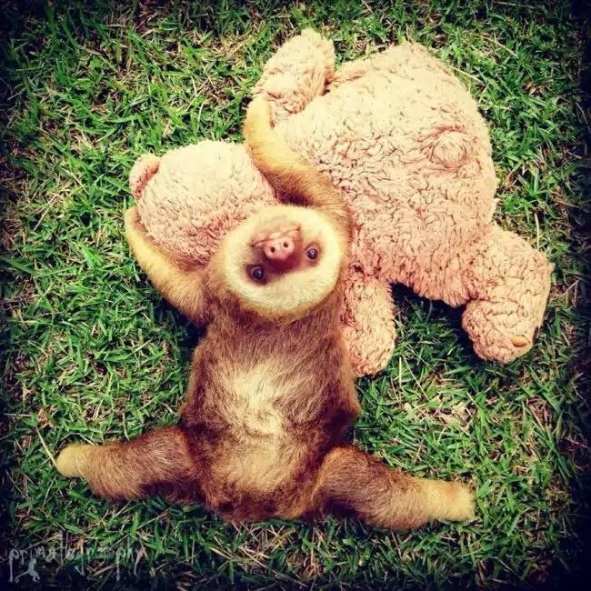 Organization Rehabilitates Baby Sloths That Lost Their Moms