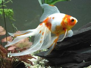 Ikan Mas Koki Ryukin