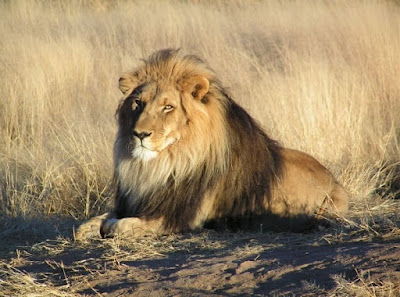 León en Namibia