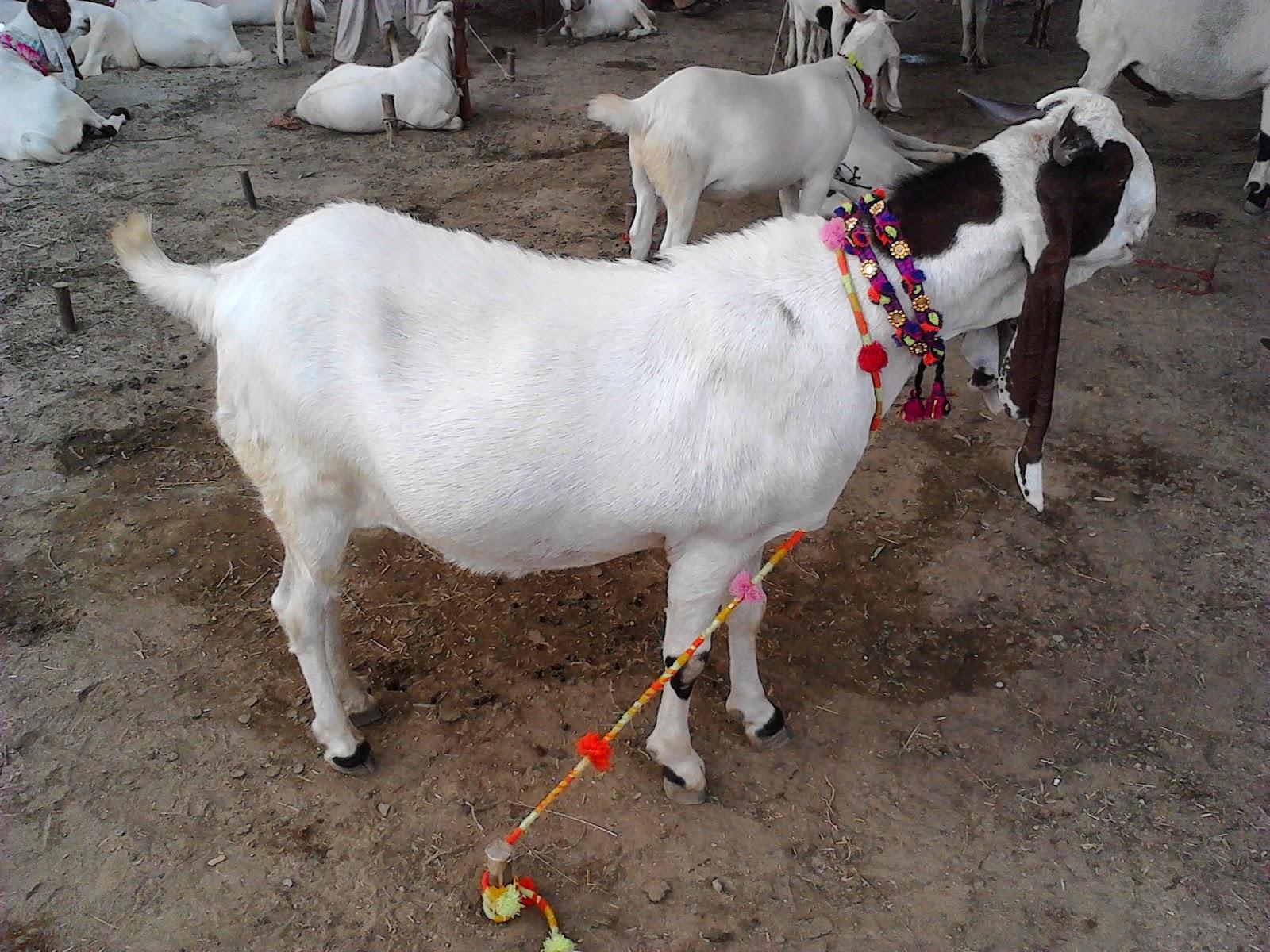 Kamori Goat For Sale In Lahore