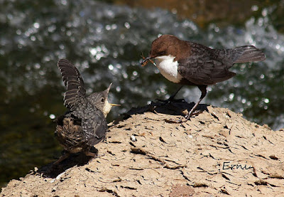 Mirlo acuático alimentando a un polluelo