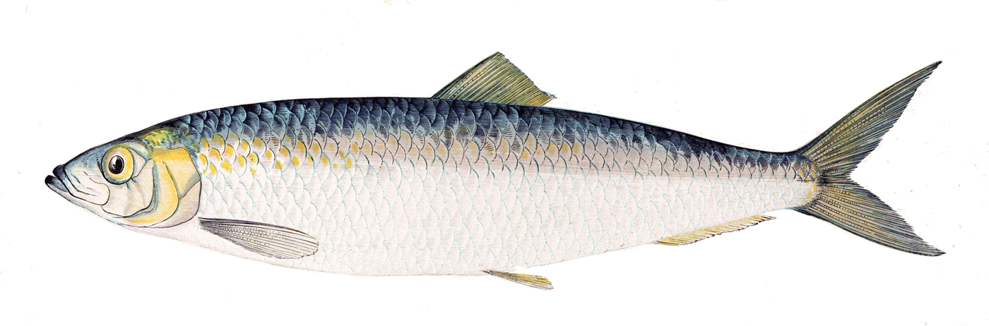 Medical eponyms with explanations 81 herring bone pattern for Image of fish