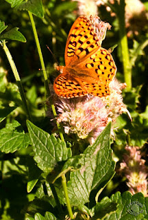Cramer Imaging's professional quality photograph of an orange butterfly sitting on a pink flower in Caribou National Forest, Bannock, Idaho