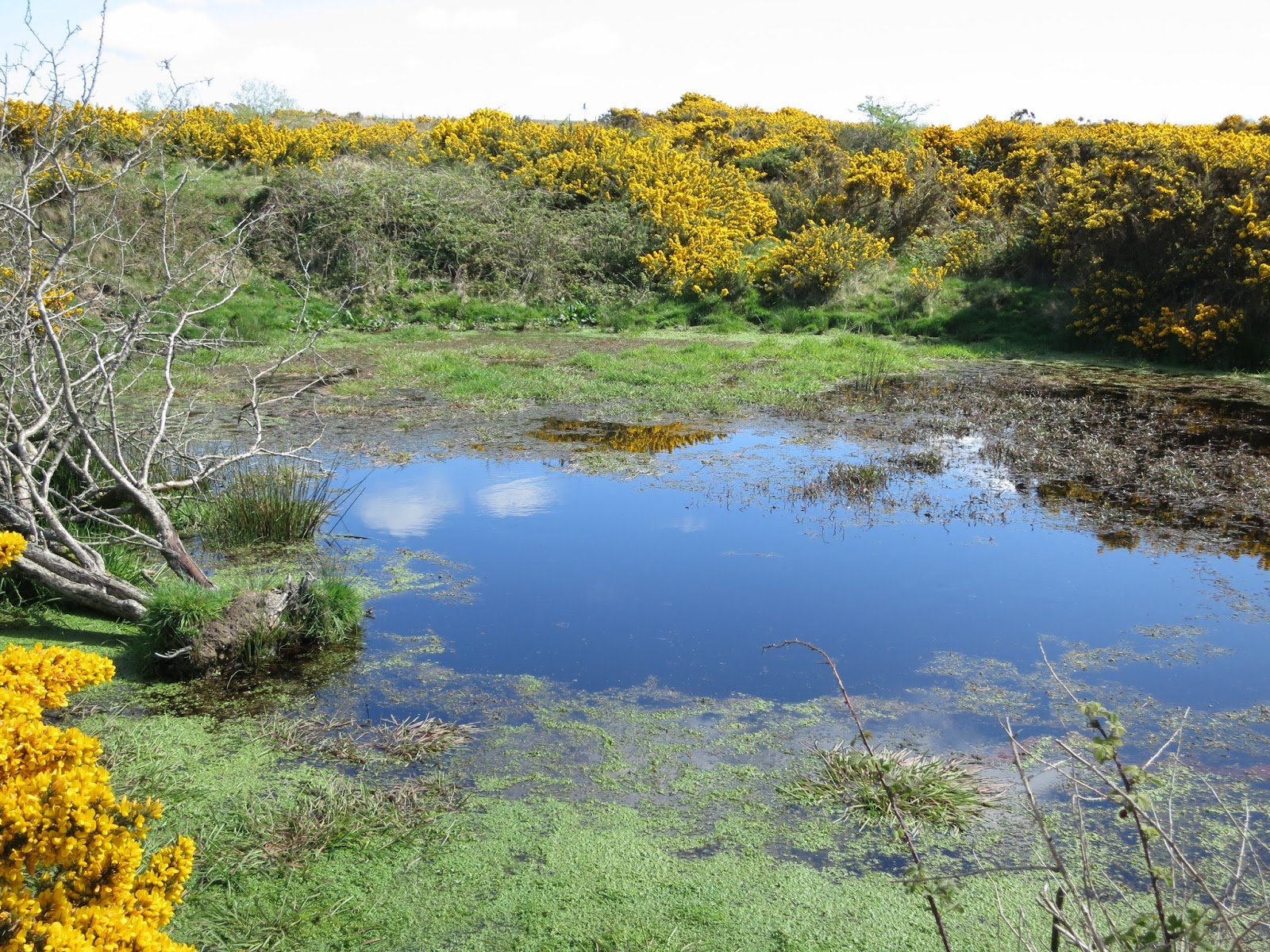 Pond with weed. Gorse around it and sky reflected in it. Uprooted small tree.