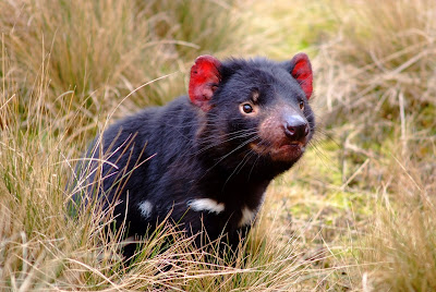 What is Tasmanian Devil? Facts and Quick Info 1