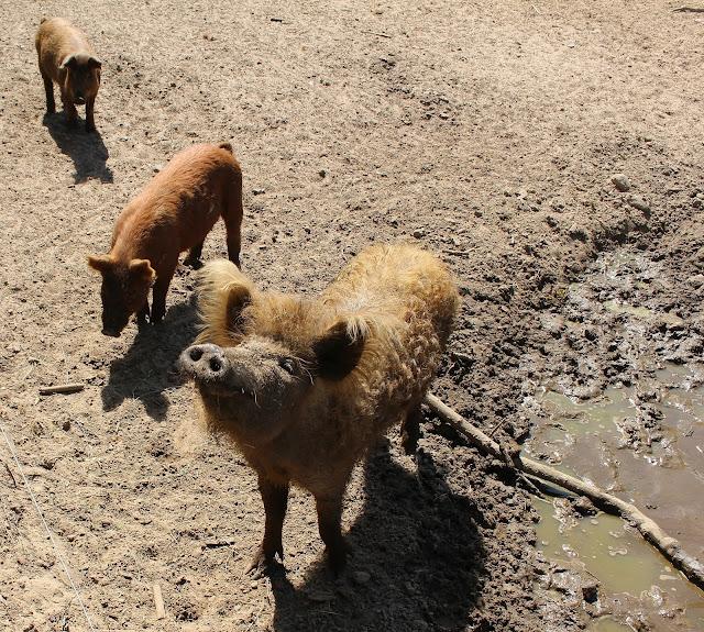 Haustierpark Liebenthal Schweine