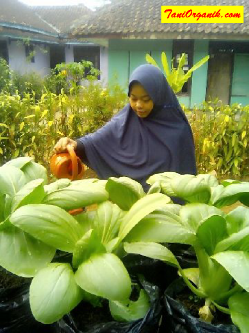 Ibu Dewi tengah melakukan penyiraman pada tanaman pakcoy montoknya.