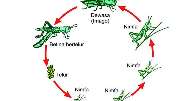 5 Contoh Hewan yang Mengalami Metamorfosis Tidak Sempurna