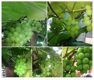 Cara Jaga Pokok Anggur Yang Betul