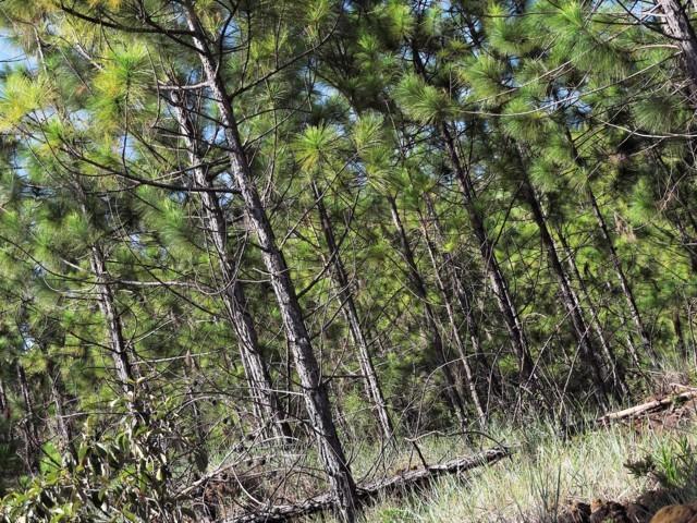 bosque de pinos en los altos de niquia