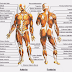 Anatomi Sistem Otot