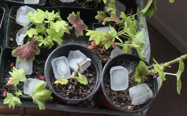 هل تعلم لماذا يُنصح بوضع مكعبات الثلج للنباتات المنزلية؟