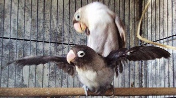 Image Result For Cara Merawat Lovebird Over Birahi