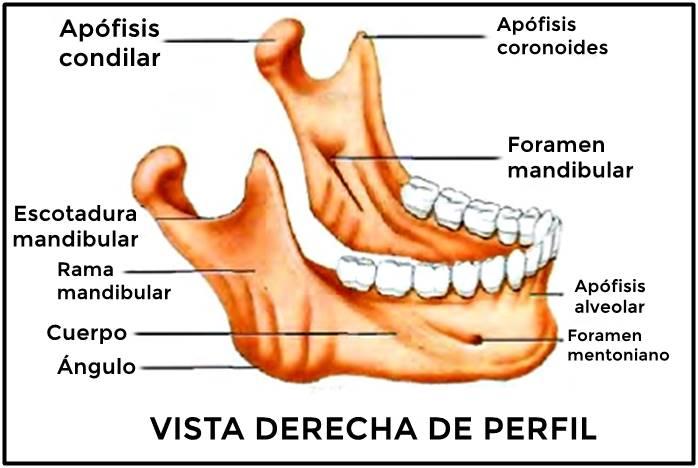 Huesos del cráneo: mandíbula
