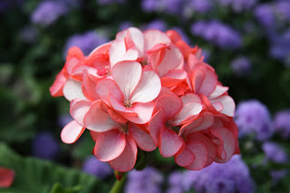 geranium Horizon Petticoat, Green's Greenhouse