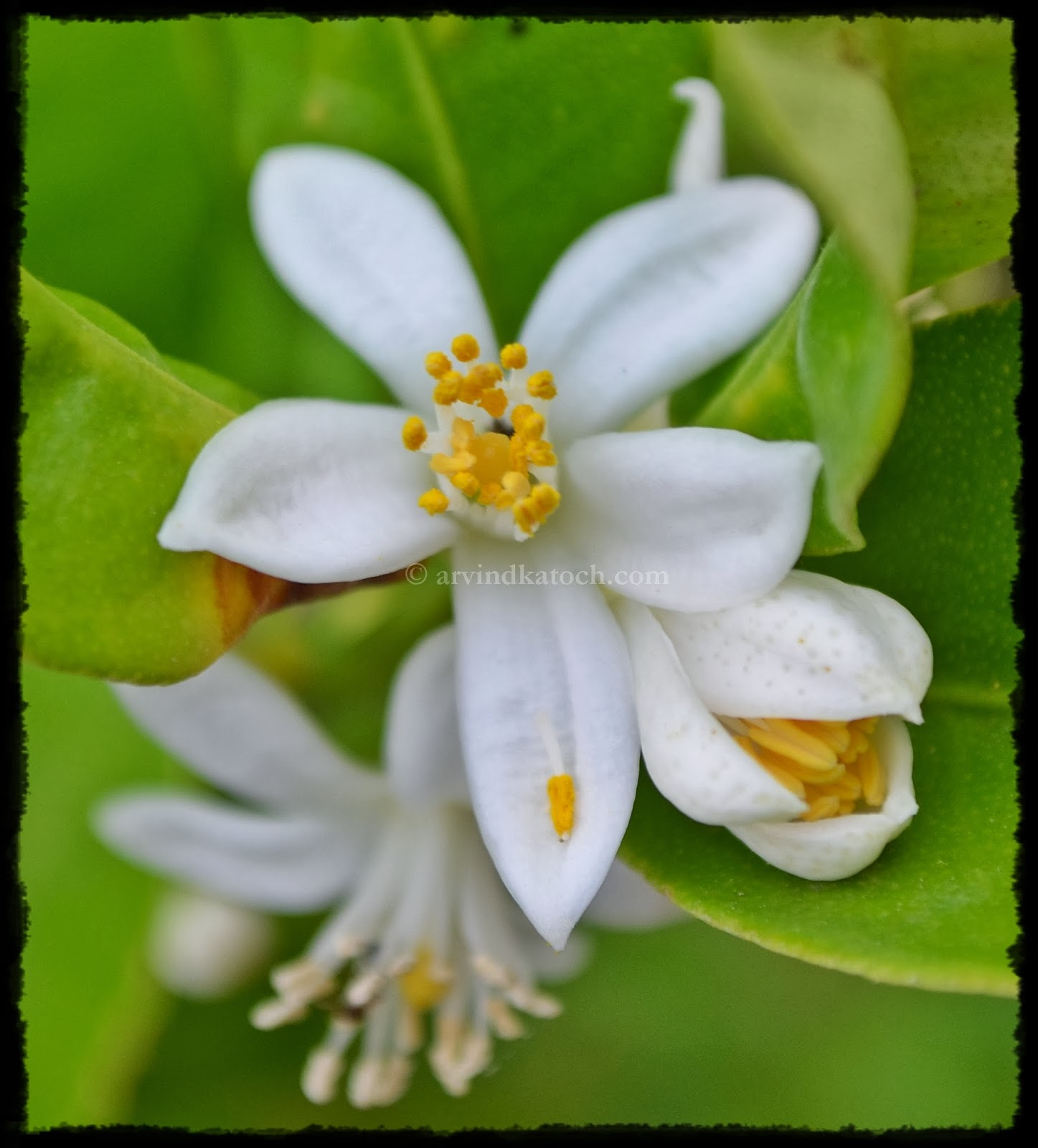 Arvind Katoch Photography Beautiful White Tea Plant Flowers With