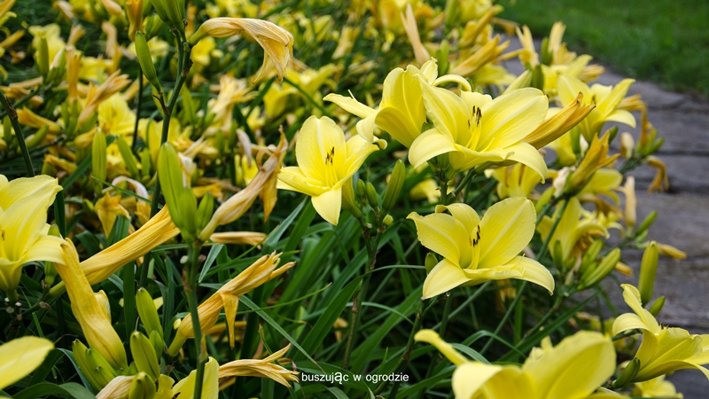 liliowiec, botanik
