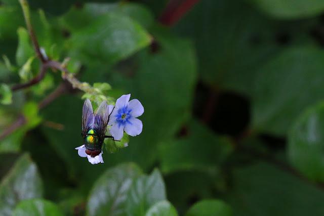 Nisurdi Paracaryopsis coelestina kaas plateau green bottle fly Phaenicia sericata or Lucilia sericata