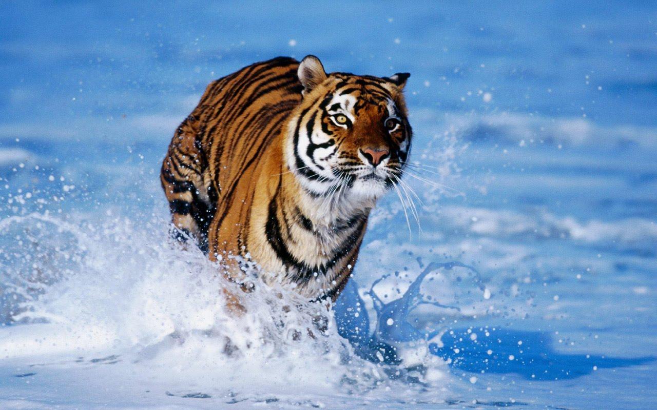 Desktop Hd Tiger Attack Pics: Beautiful Tiger Wallpapers