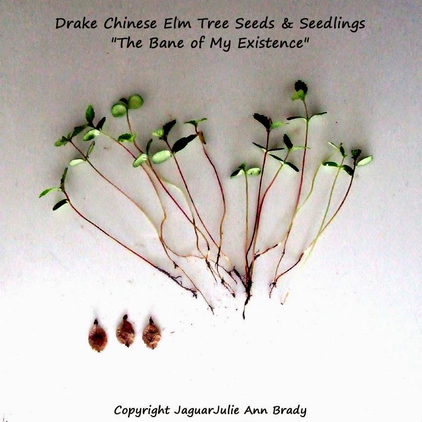Drake Chinese Elm Tree Seeds and Seedlings
