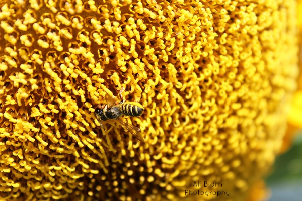 happy honeybee collecting pollen from a bright yellow sunflower