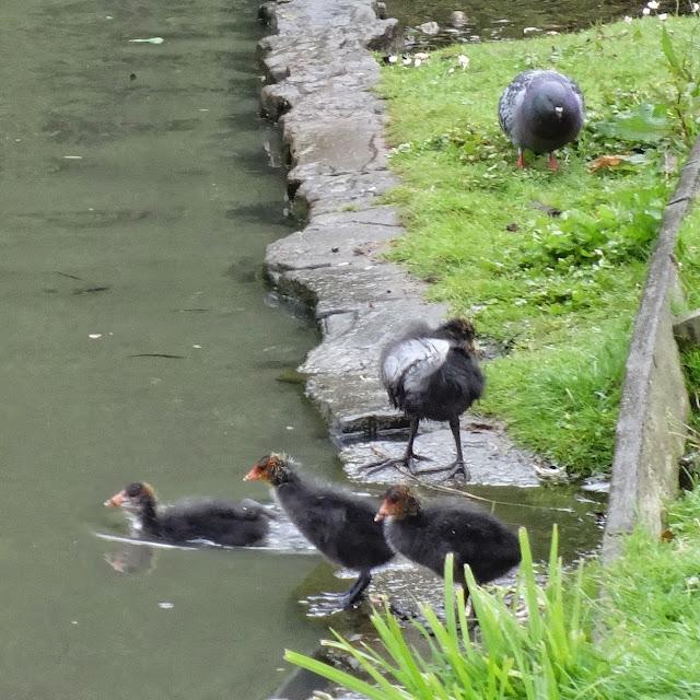 Ducks in pond