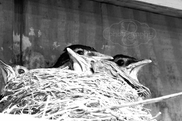 black and white baby birds in a nest