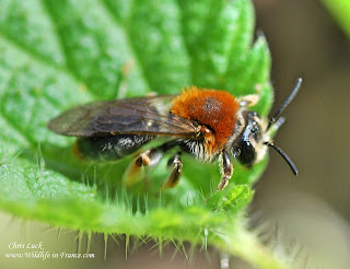 Female red tailed mining bee France solitary species.