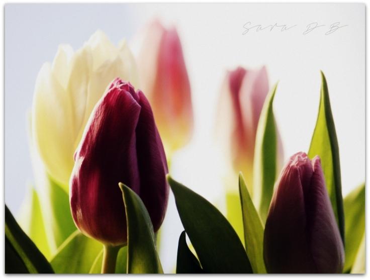 tulips tulppaani Tulipa