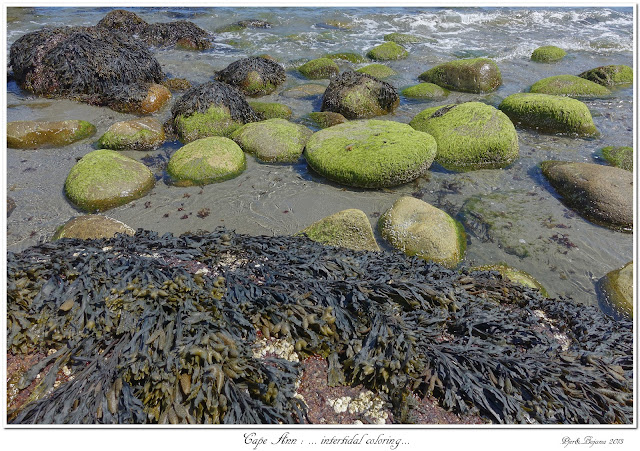 Cape Ann: ... intertidal coloring...