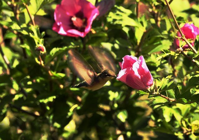 Este pequeño puede batir sus alas hasta doscientas veces por segundo