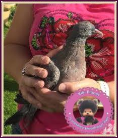Départ de Colombine, notre bébé pigeon