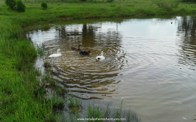 7 Things I Have Learned About Having Ducks  www.HensleeFarmAdventures.com