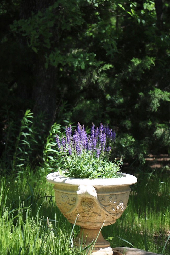 French country urn with blue sage in backyard