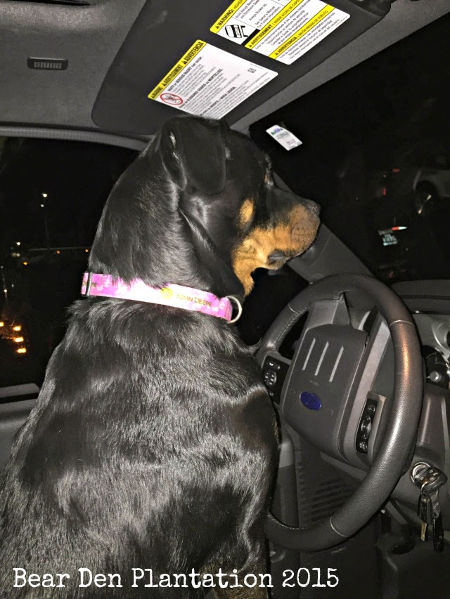 """Rottweiler """"driving"""" a Ford F250 Diesel"""