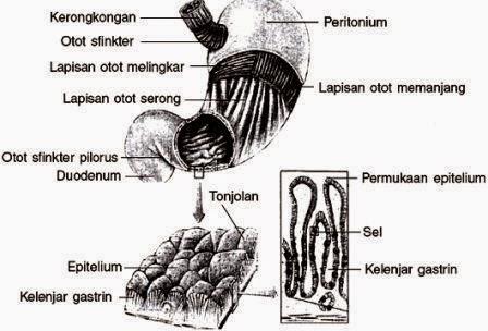 Alat pencernaan insan terdiri atas beberapa bab dengan fungsi organ Bagian Organ-Organ Pencernaan serta Fungsinya