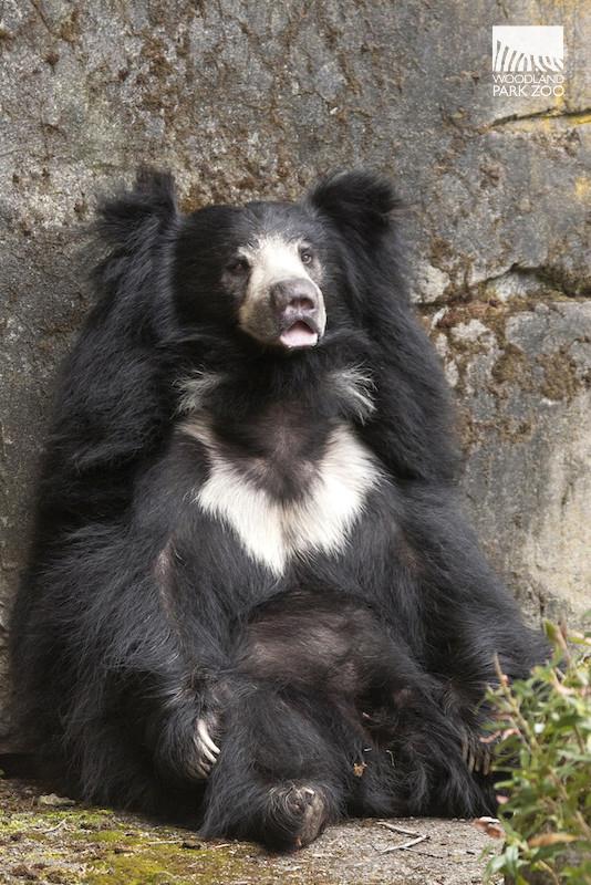 [Image: DDow_April%2B13%252C%2B2015_Sloth-Bear-Tasha.jpg]