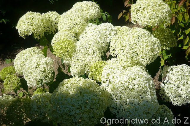 Hydrangea arborescens 'Anabelle'
