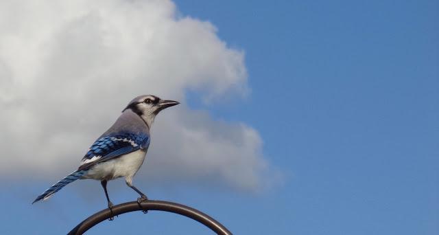 Blue jay on a blue sky day.