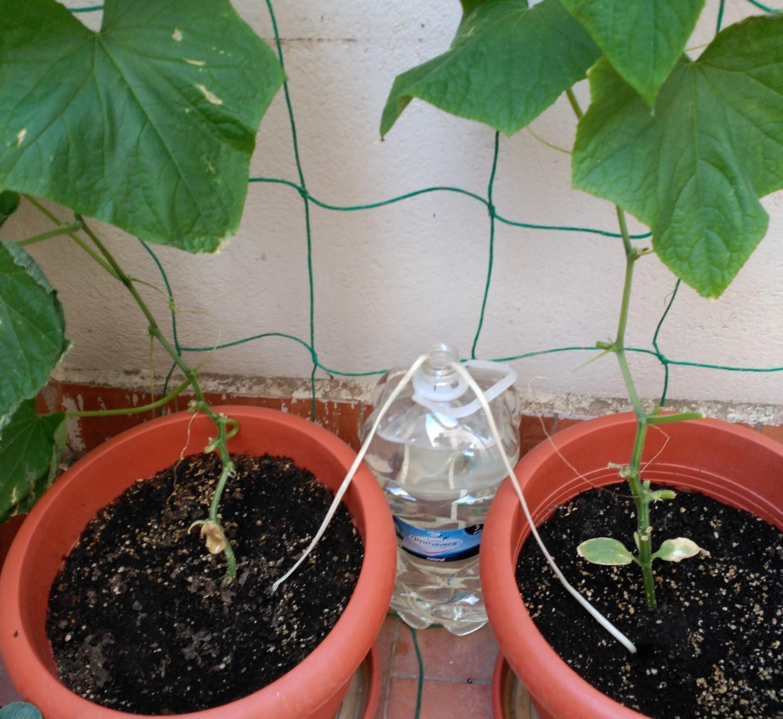 Huerto casero de quiquet sistema de riego capilar con for Plantas beneficiosas para el huerto