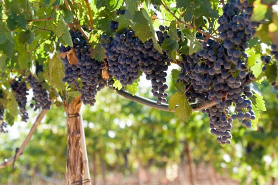 Falta de frío podría perjudicar la producción de uva del valle central de Tarija