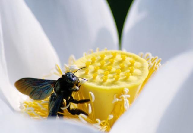 Tong-hop-nhung-buc-hinh-dep-ve-sen-trang, Tổng hợp những bức hình đẹp về hoa sen trắng