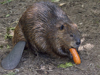 Beaver Animal Pictures