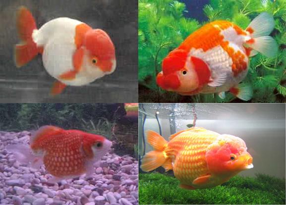 Ikan Koki Mutiara