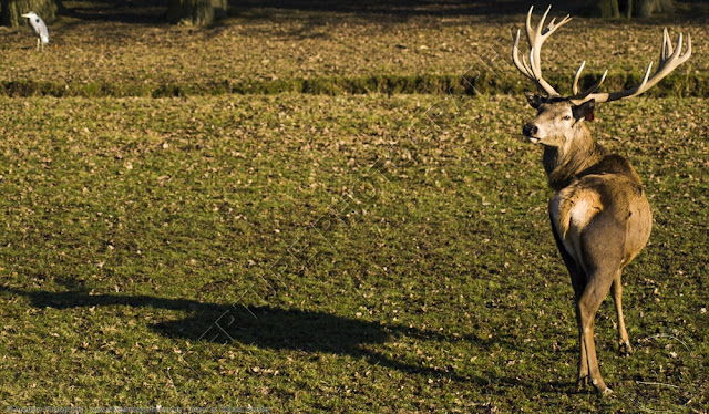 Red deer stag with full shadow with a heron in the background
