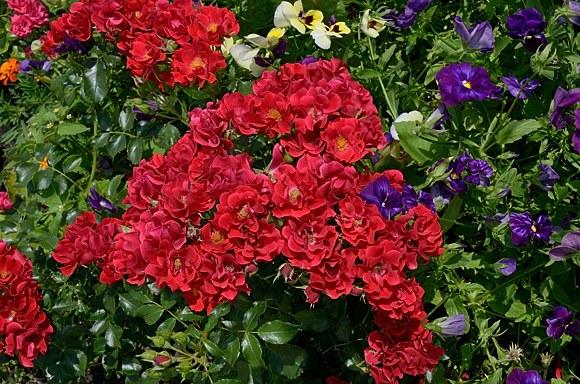 Matador сорт розы фото купить саженцы в Минске питомник отзывы