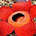 Bunga Rafflesia Arnoldii Ternyata Bisa Dibudidayakan